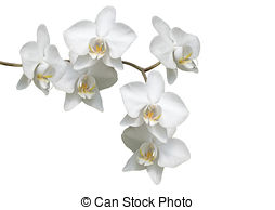 Orchidee Stock Photo Images. 180 Orchidee royalty free pictures.
