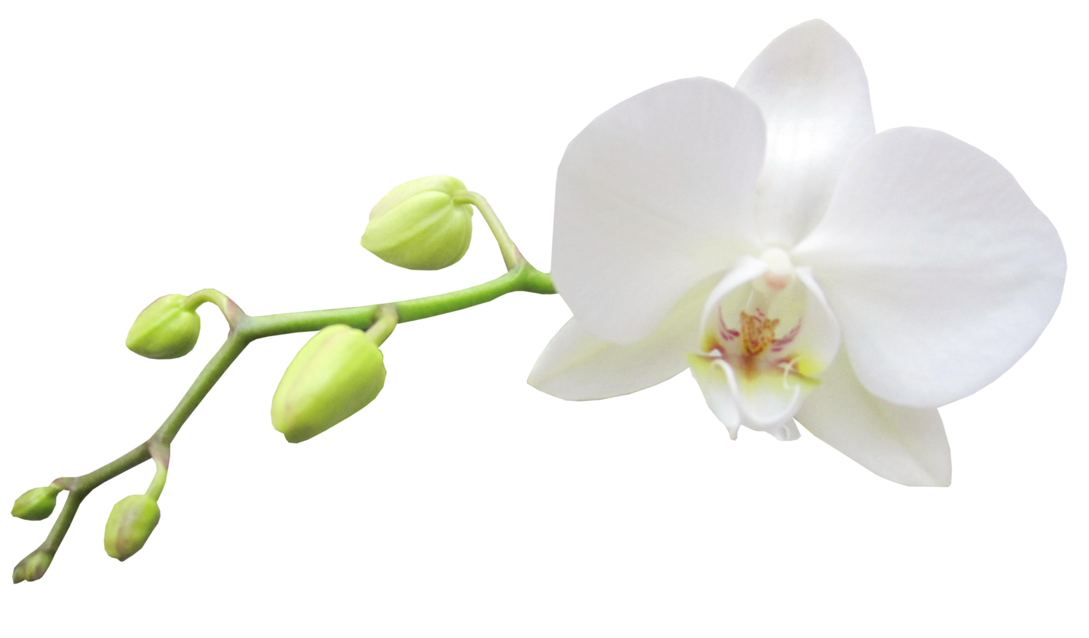 White Orchid Clipart 20 Free Cliparts Download Images On