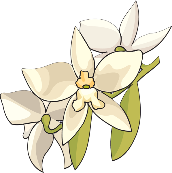 Clip Art of a White Orchid.