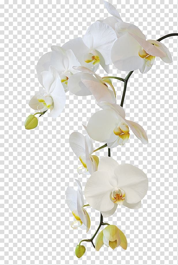 White moth orchid, Moth orchids Flower , flower transparent.
