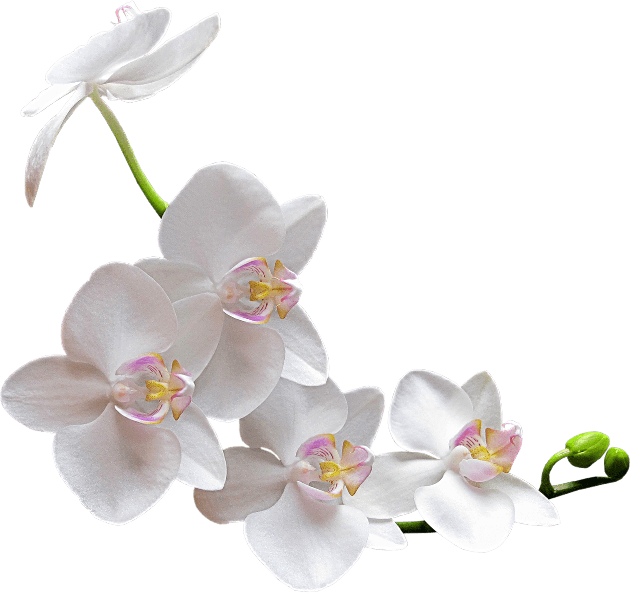 White Orchid transparent PNG.