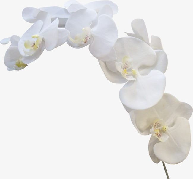 White Orchid PNG, Clipart, Flowers, Orchid, Orchid Clipart, Squid.
