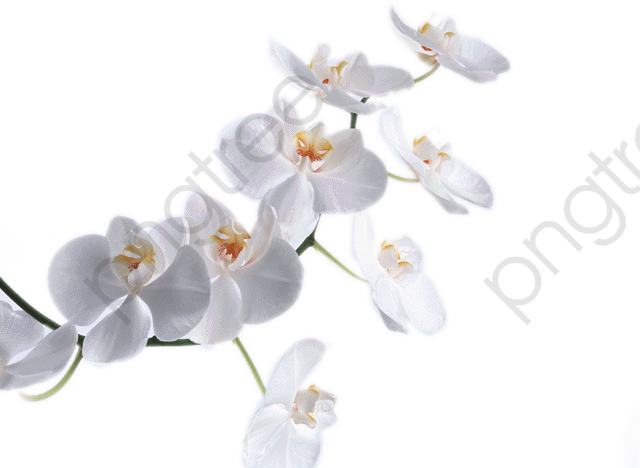 White Orchid, Orchid, Product Kind PNG Transparent Image and Clipart.