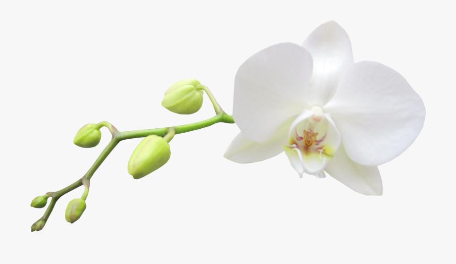 Large Transparent White Orchid Clipart.