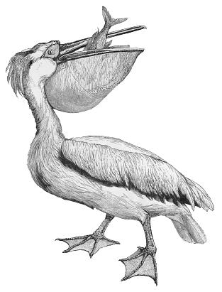 white pelican 1.