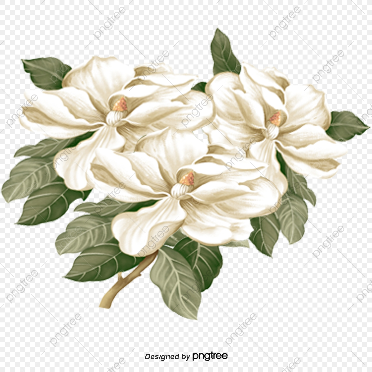 White Peony, Peony, National Flower, White Peonies PNG Transparent.