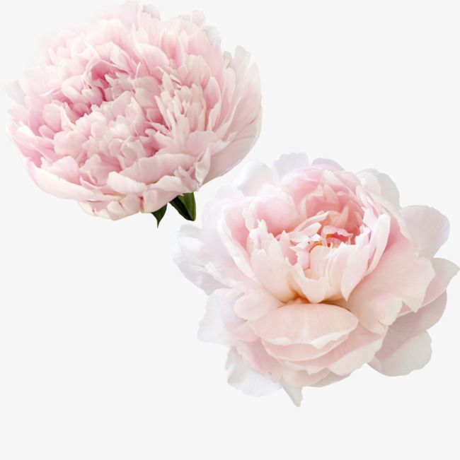 Beautiful Pink Peony Flowers, White Peony, Flowers, Small Fresh PNG.