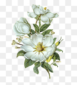 White Peony PNG Images.