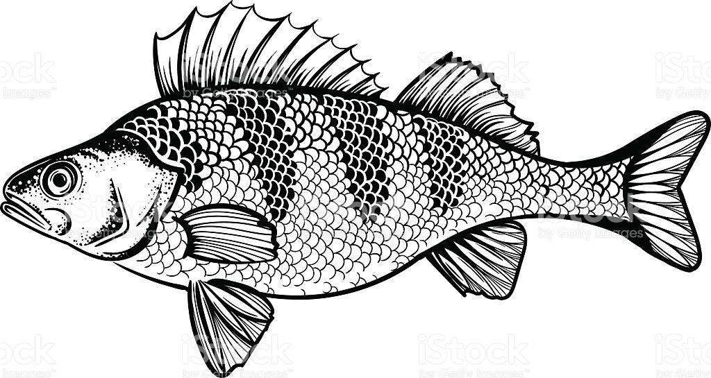Vector Black And White Perch Fish Illustration stock vector art.