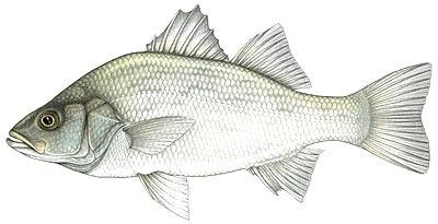 Dictionary of Fish : Fish Directory.