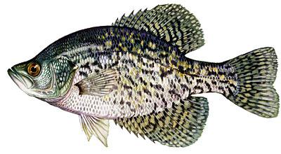 Fishin franks freshwater fish id.