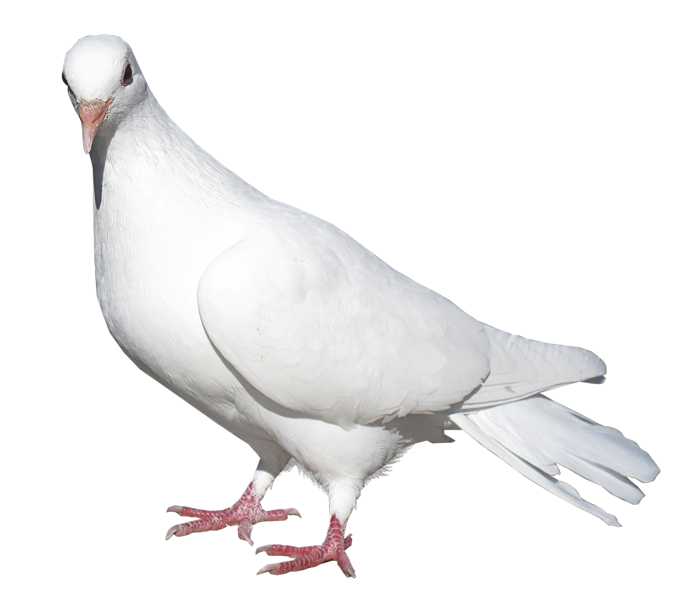 White Pigeon Transparent PNG Picture.