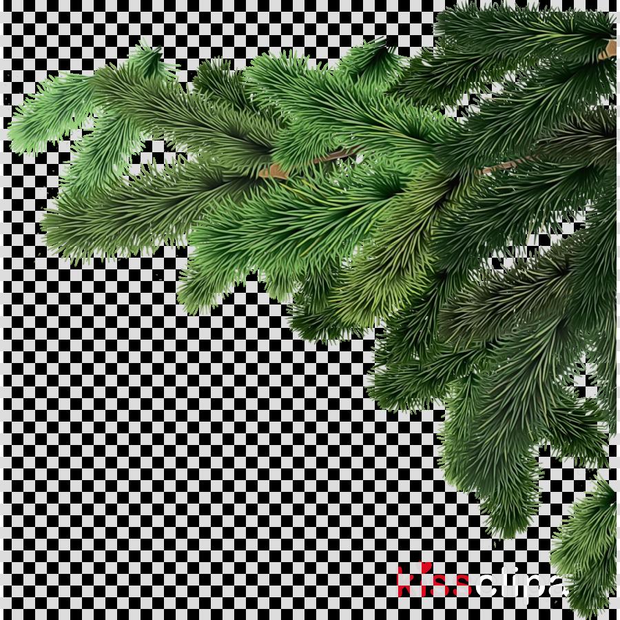 white pine yellow fir tree oregon pine branch clipart.
