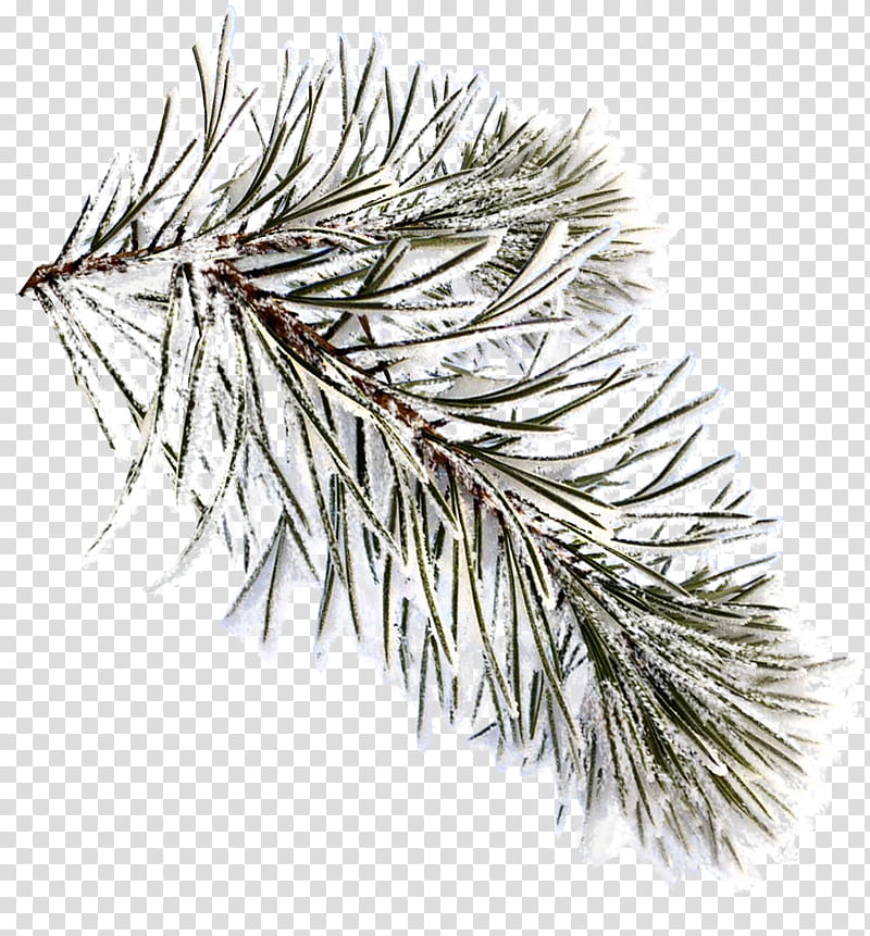 Fir, leaf tree filled with snow transparent background PNG.