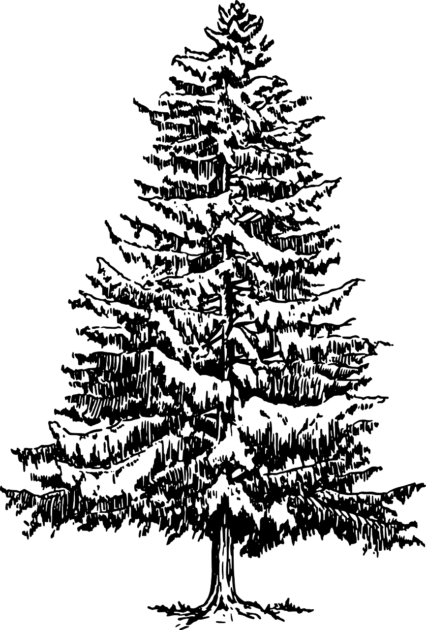 Eastern white pine Tree Drawing Clip art.