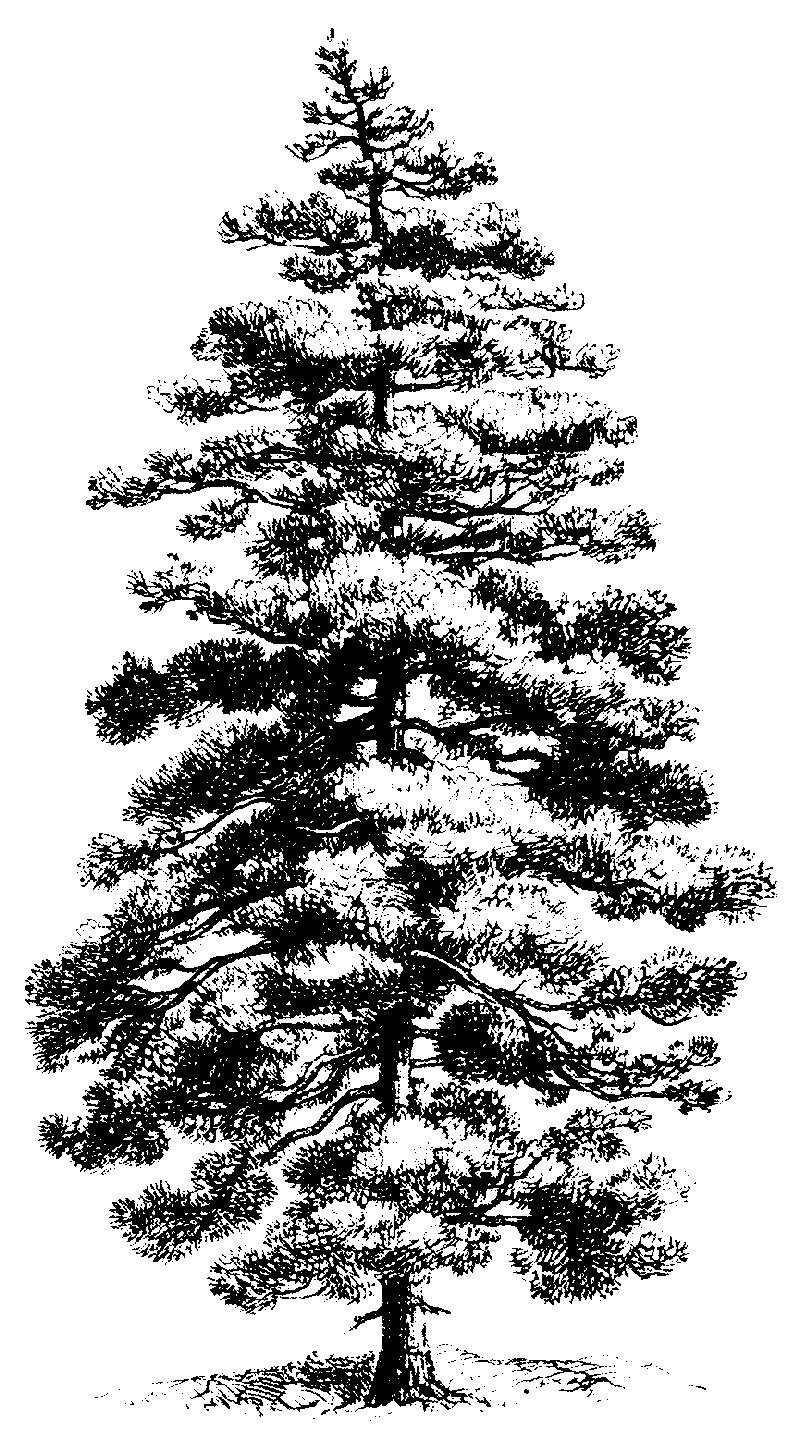 White pine clipart 2 » Clipart Station.