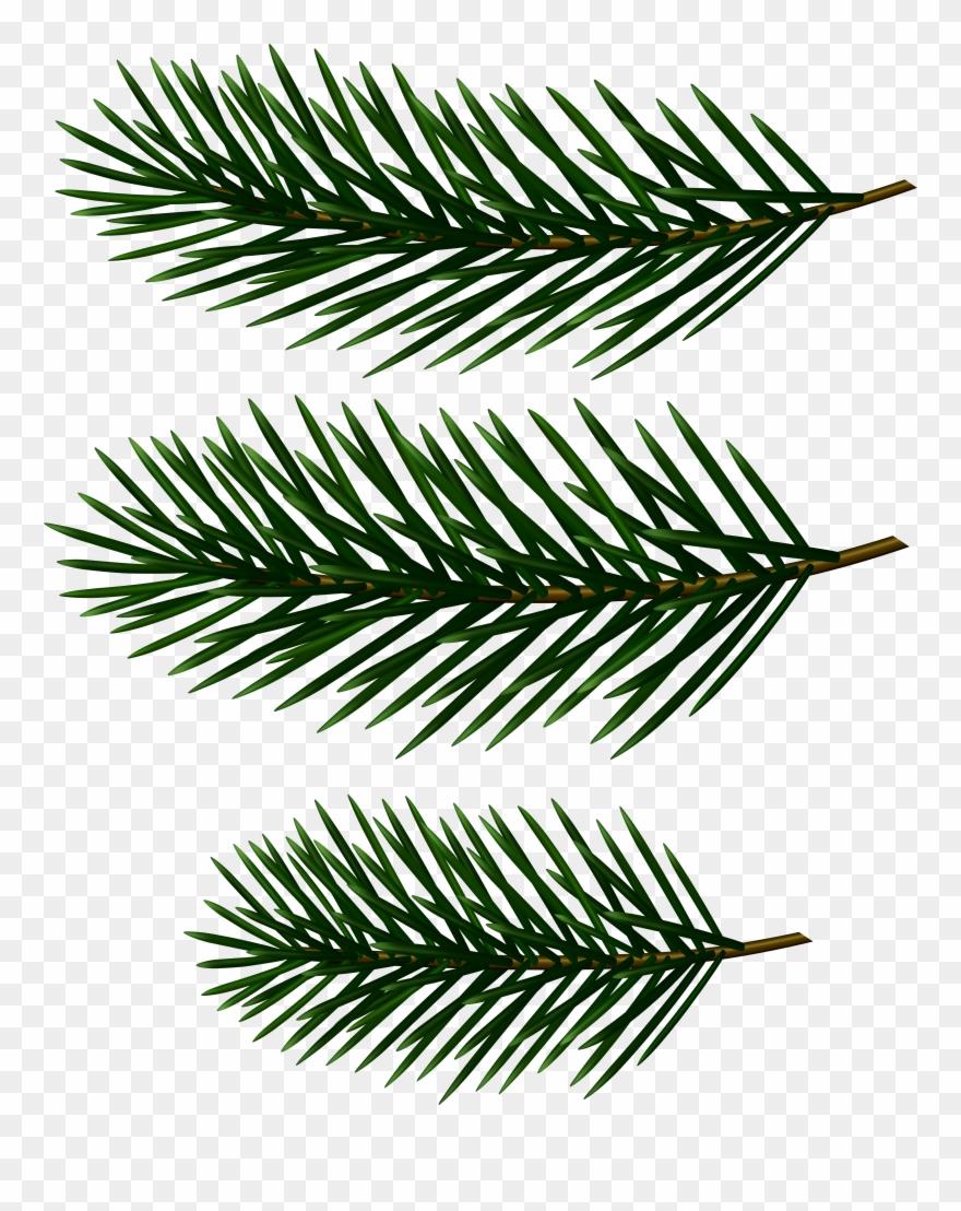 White Pine Clipart (#973).