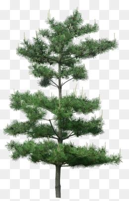 oregon pine PNG Images.