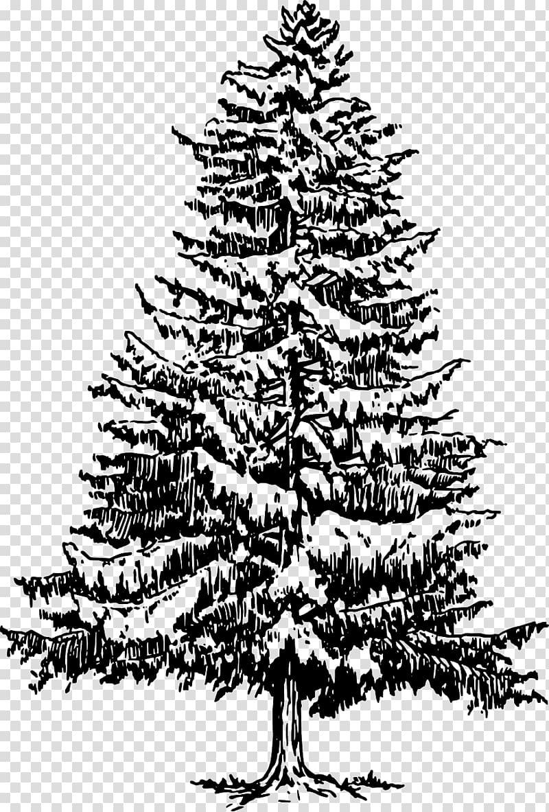 Eastern white pine Tree Drawing , pine tree transparent background.