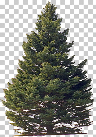 268 eastern White Pine PNG cliparts for free download.