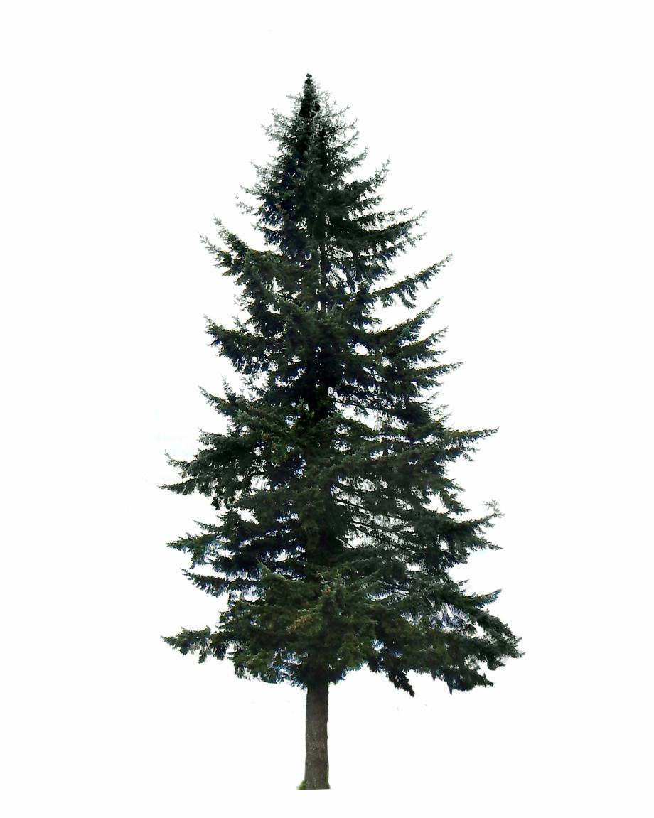 Pine Tree Big.