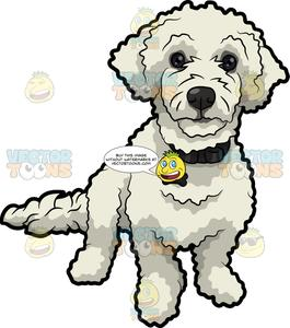 A Cute White Poodle.