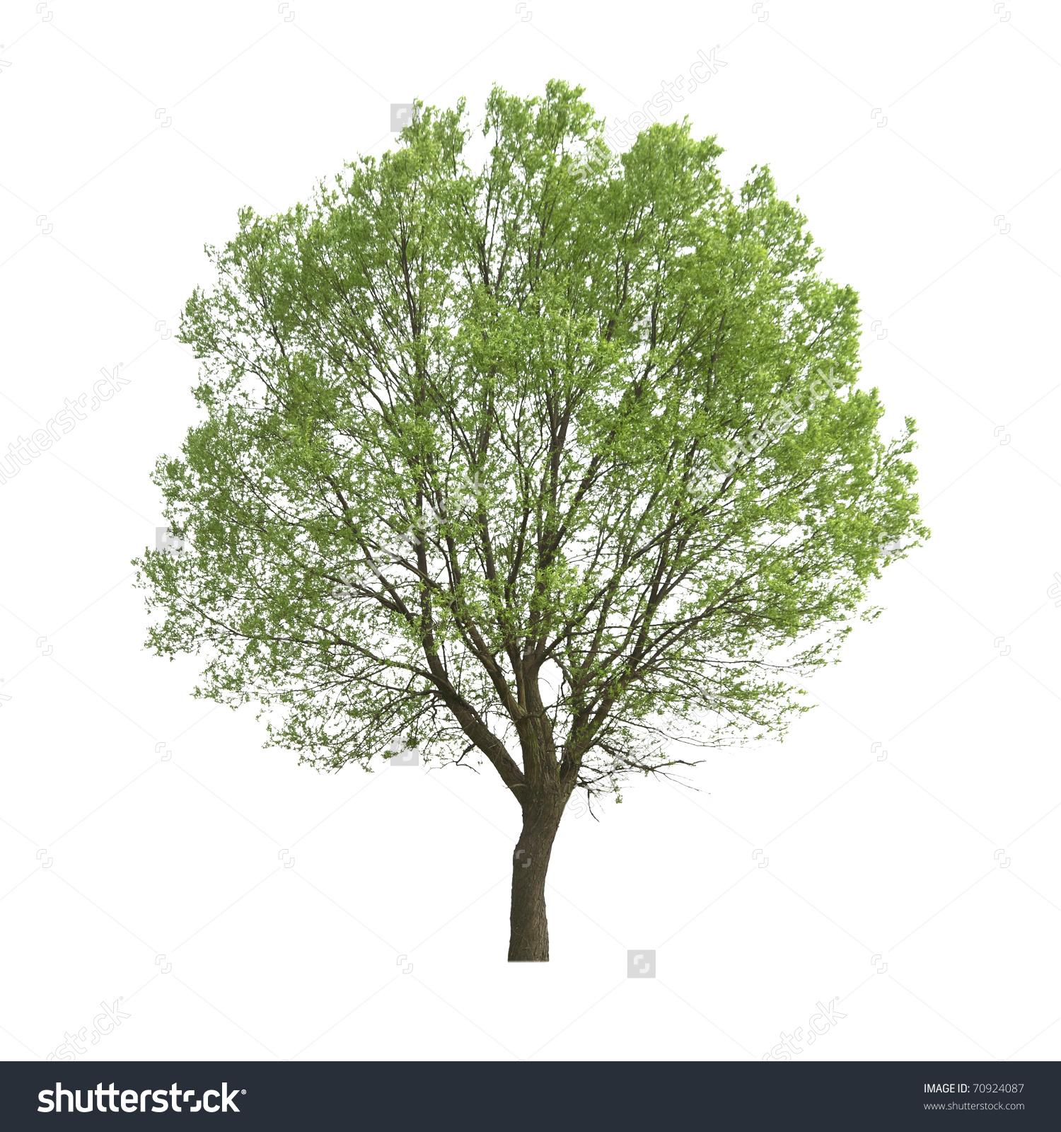 Poplar Tree Isolated On White Stock Photo 70924087.