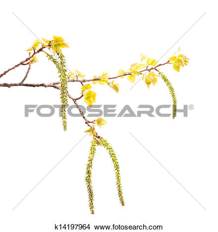 Stock Photo of Spring white poplar branch isolated on white.
