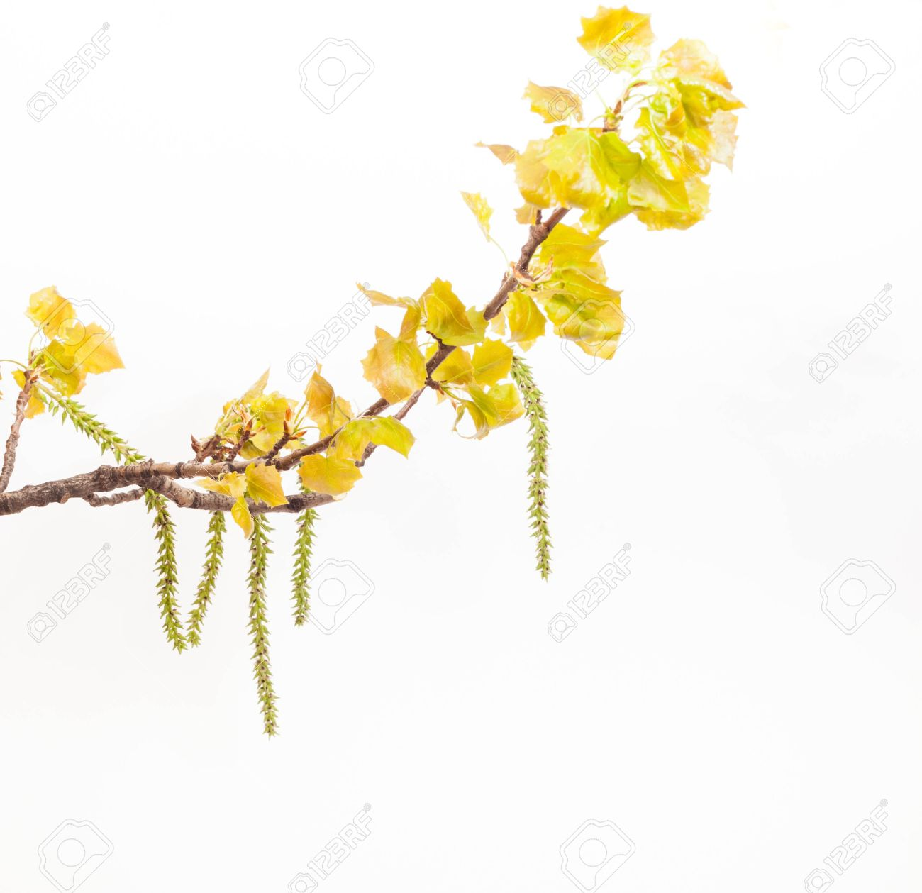 Spring White Poplar Branch Isolated On White Stock Photo, Picture.