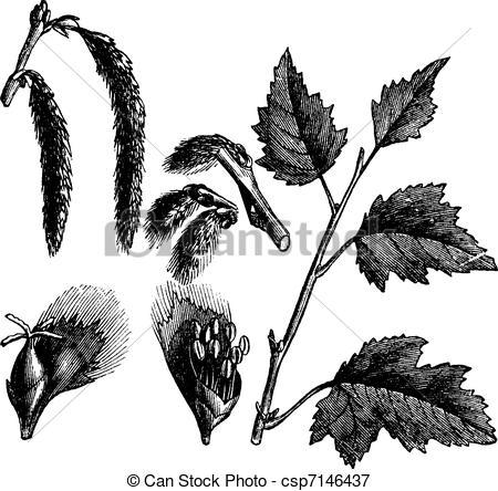 Vectors Illustration of White Poplar or Populus alba, vintage.