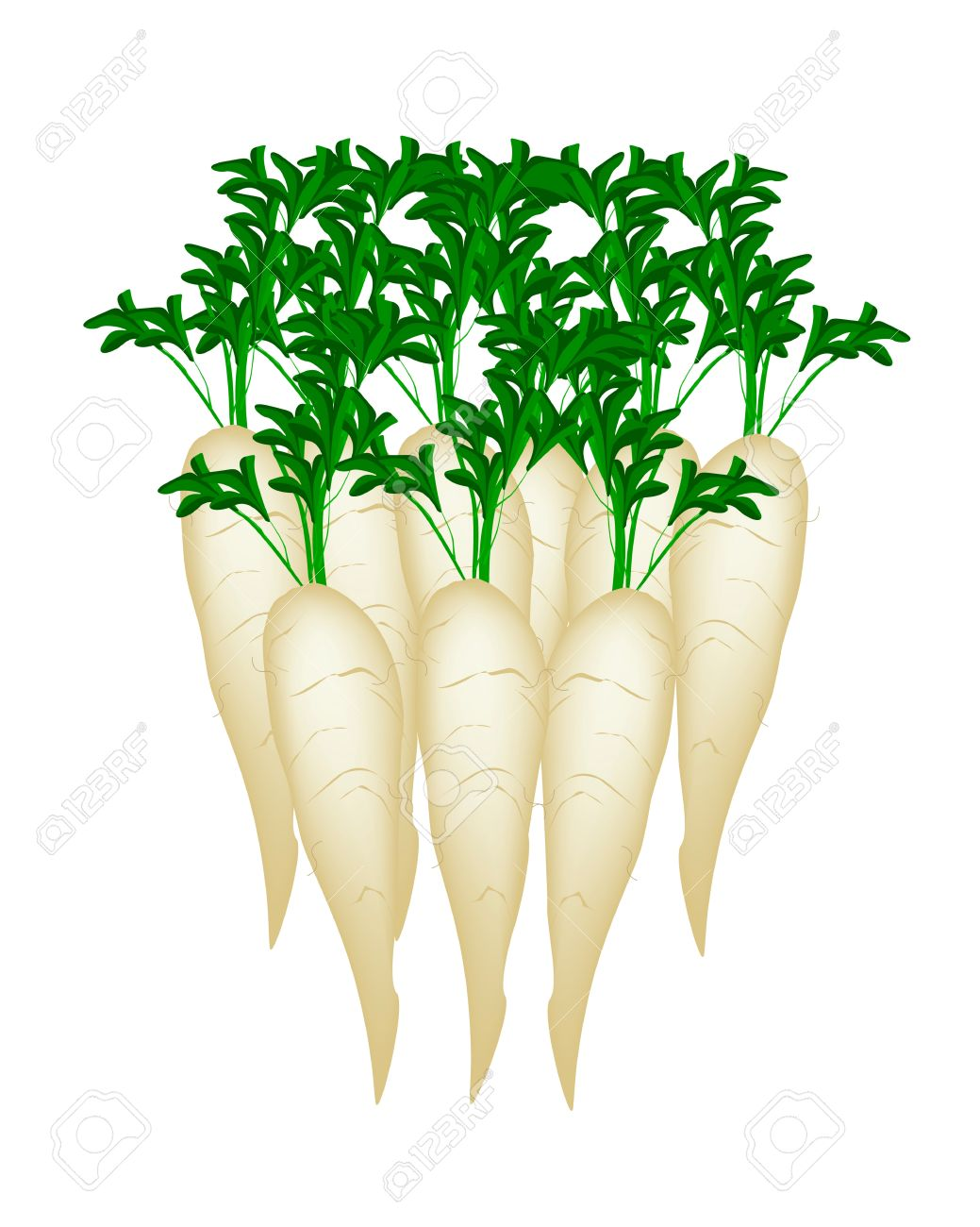 Vector Illustration Of Fresh White Radishes, Chinese Radish.