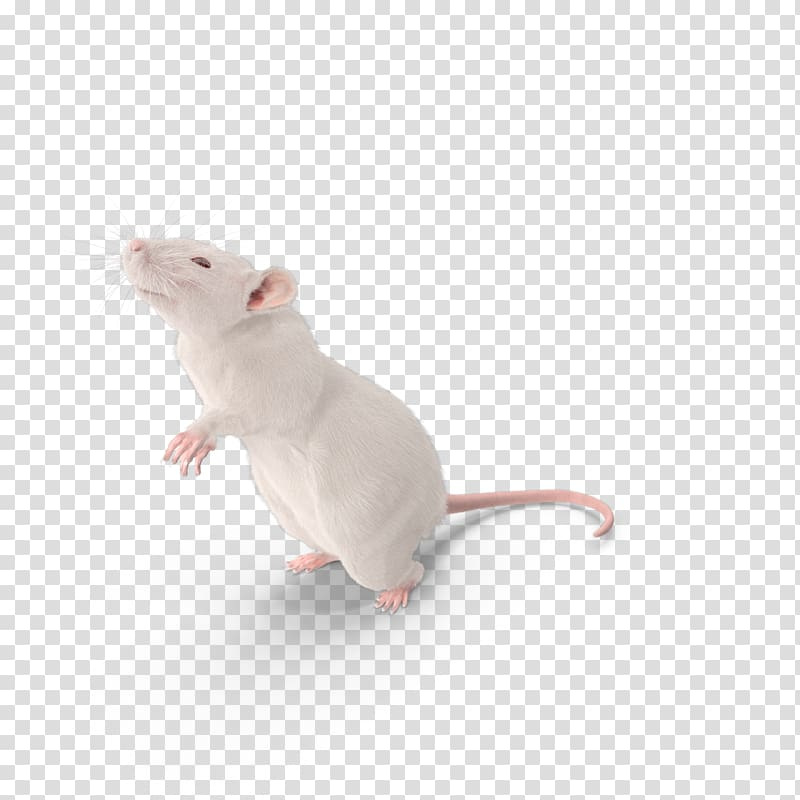 White mouse, Mouse Brown rat Laboratory rat Murids Rodent.