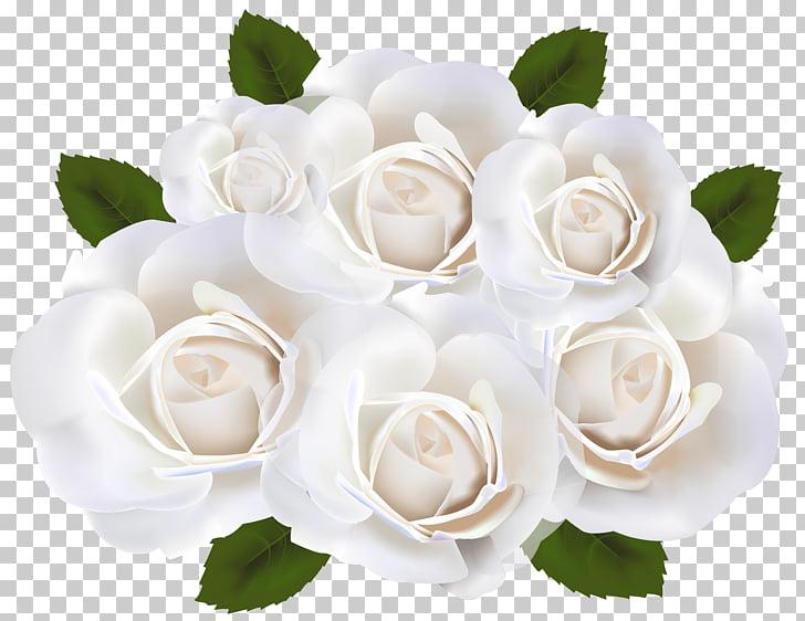 Garden roses White , White Roses Transparent , white petaled.