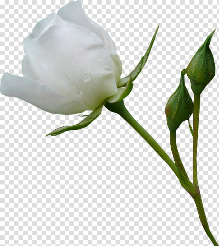 White rose flower, Beach rose Garden roses Flower, White.