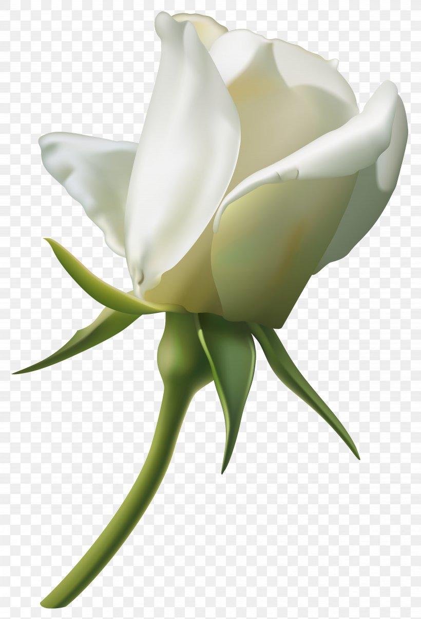 Rose White Clip Art, PNG, 6733x9878px, Rose, Arum, Bud, Cut.