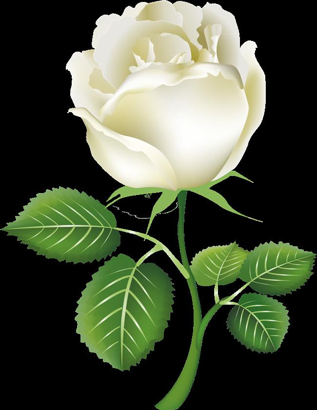 White Rose Clipart.