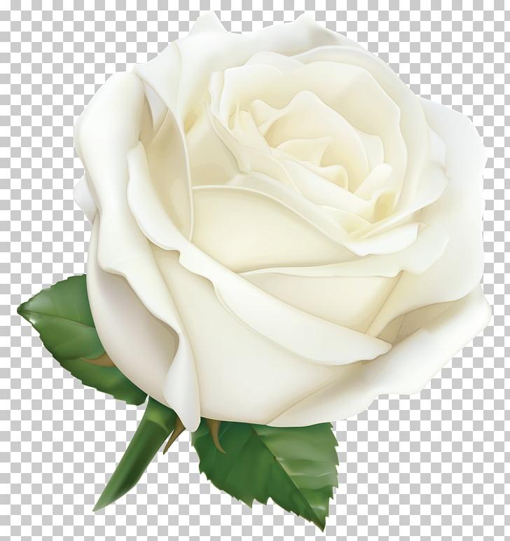 Rose Pink , Large White Rose , white rose illustration PNG.