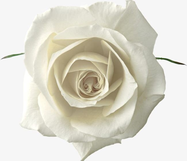 White Rose PNG, Clipart, Flowers, Rose, Rose Clipart, White.