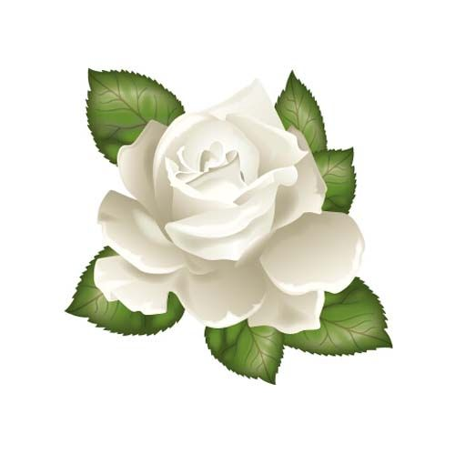 White rose with green leaves vector.