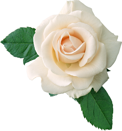 Real White Rose Clipart.