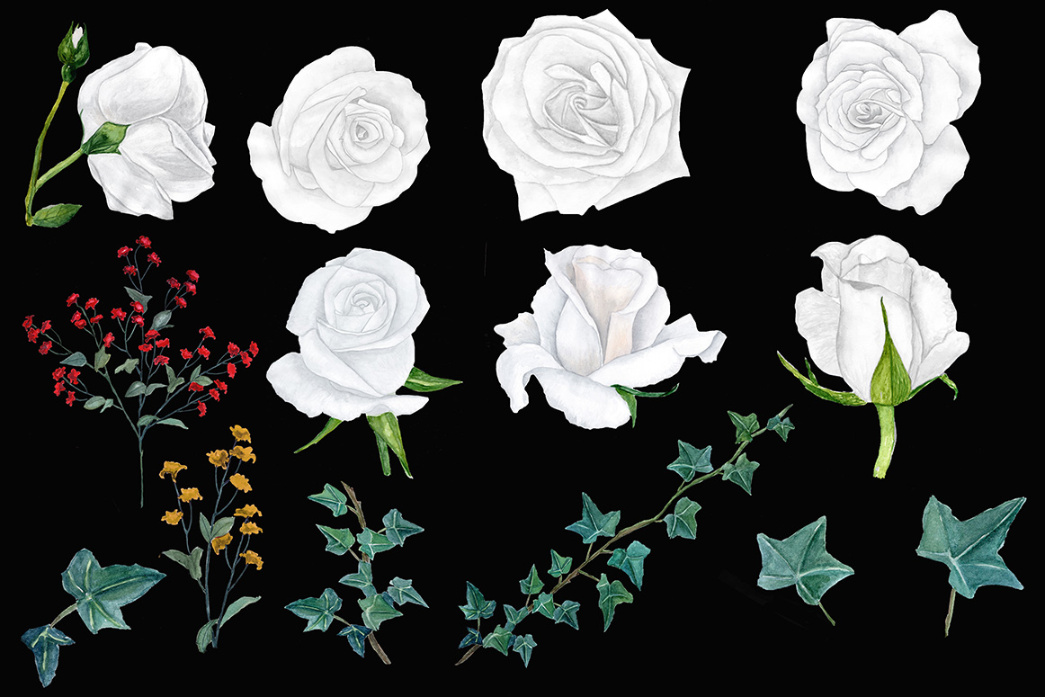 Watercolor white roses clipart.