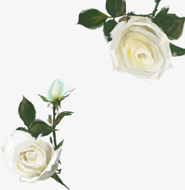 Hand painted watercolor white rose PNG clipart.