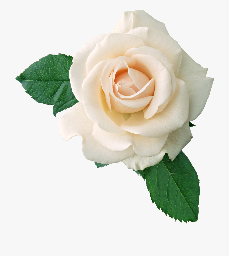 White Rose Png Image, Flower White Rose Png Picture.
