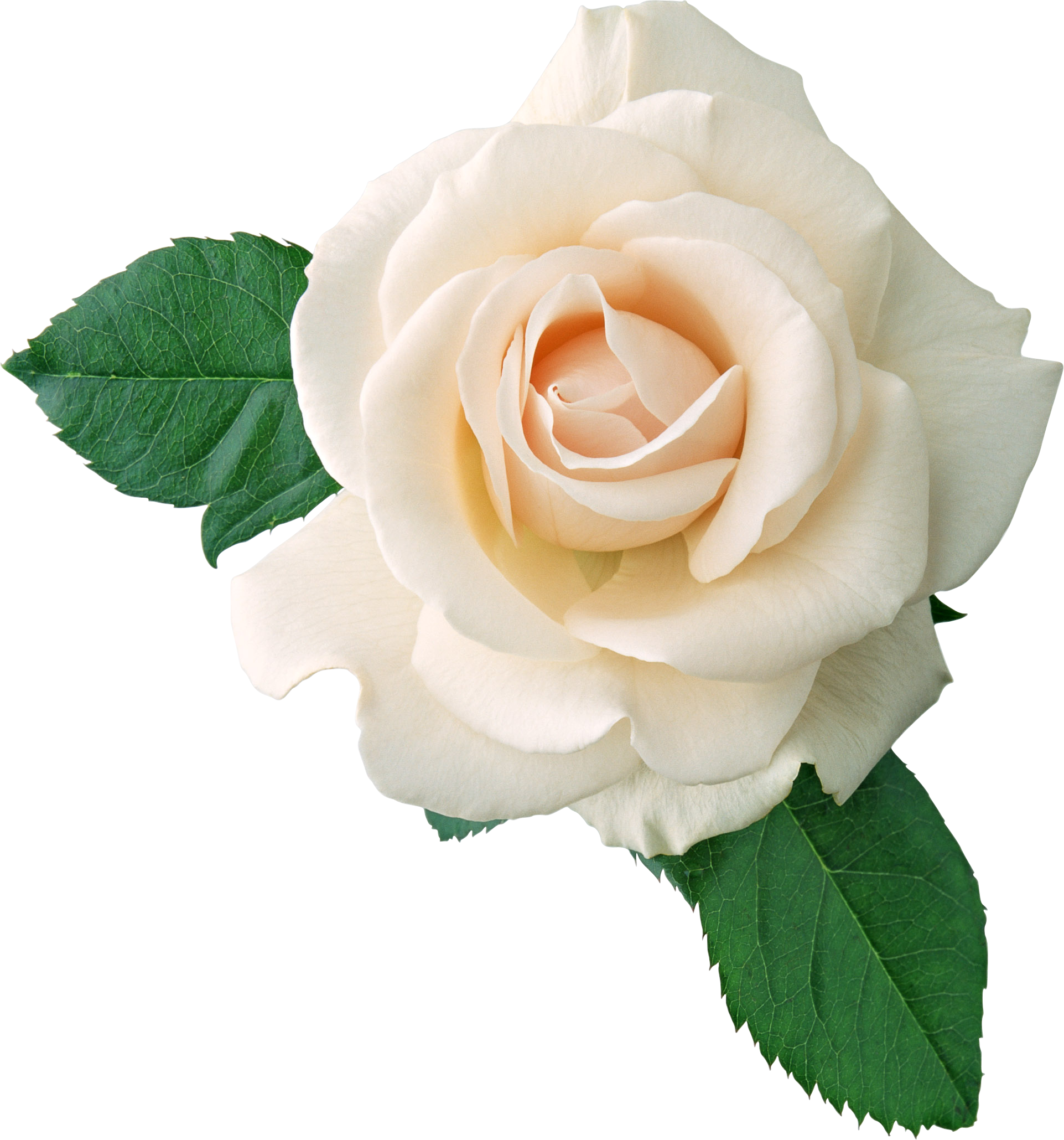 White Roses PNG Transparent White Roses.PNG Images..
