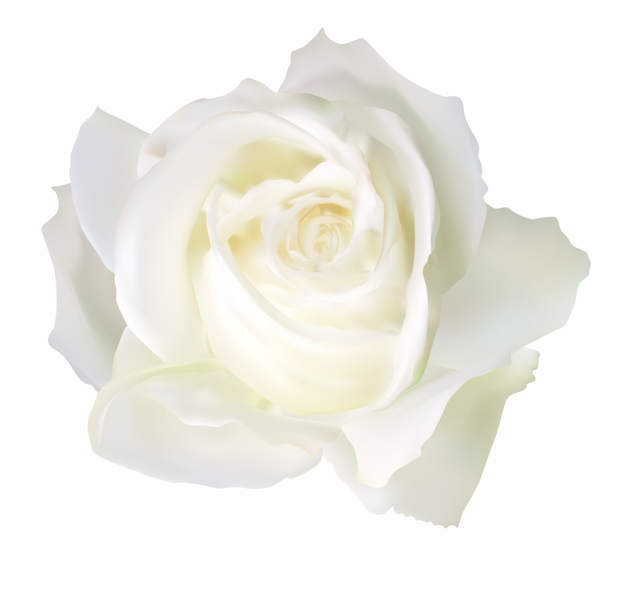 White Rose Png Free PNG Images & Clipart Download #397321.