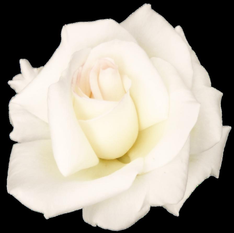 Download White Rose PNG Transparent Image.