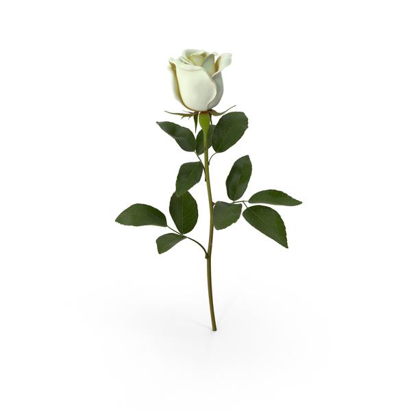 White Rose PNG Images & PSDs for Download.