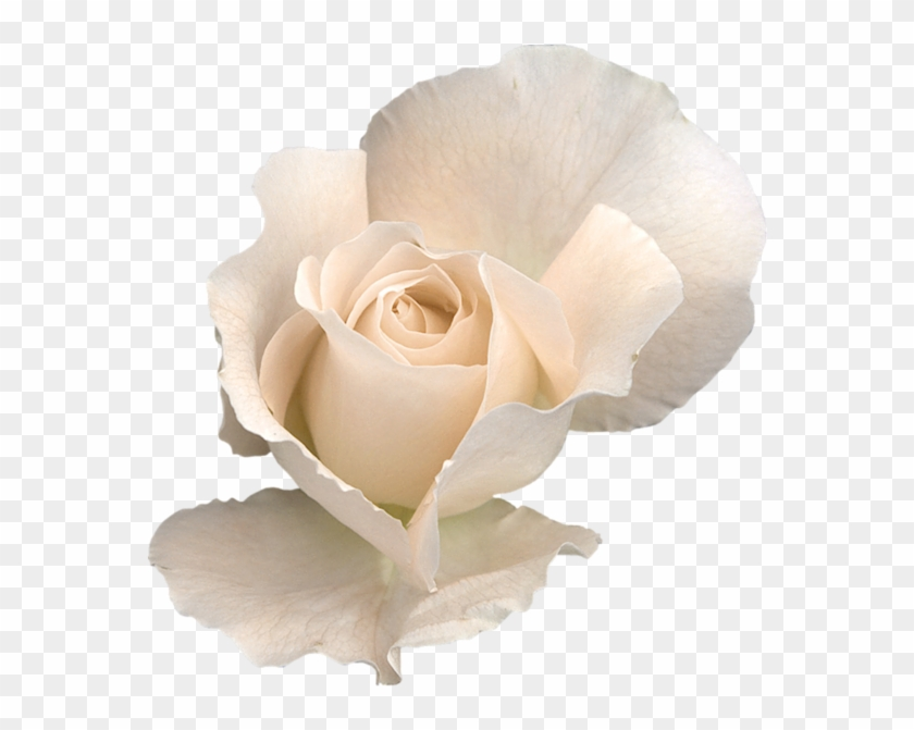 White Rose Png, White Roses, Transparent Flowers, Clipart.