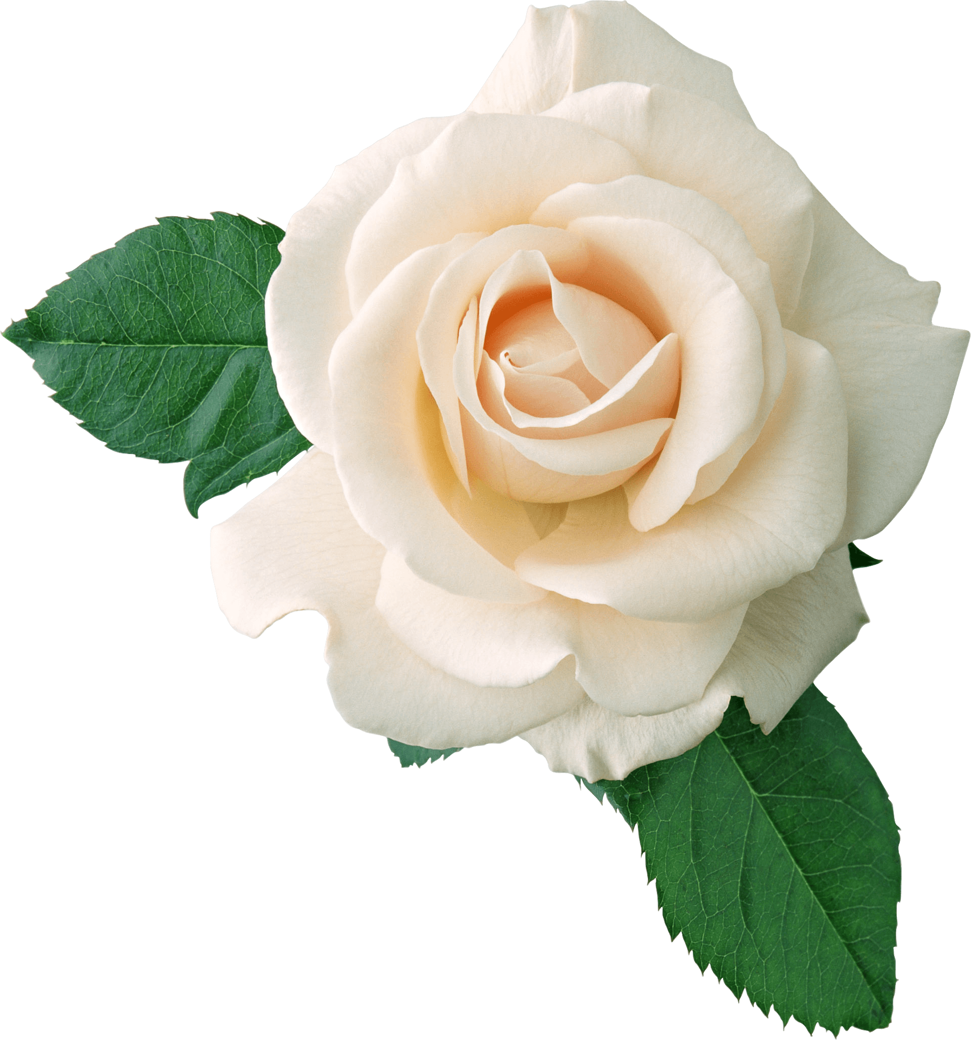 White Rose On Leaves transparent PNG.