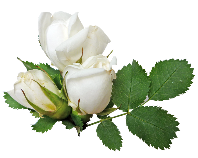 White Roses PNG Image.